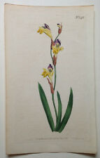 1802 Hand Colored Curtis Botanical Magazine Plate 548 5x9 Sparaxis Villosa