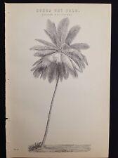 NOIX de cacao palmier COCOTIER arbre ART botanique 1885 Antique estampe originale