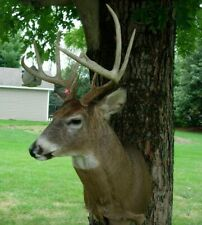 Trophy Whitetail 10 Point Deer Taxidermy Shoulder Mount Illinois 2015 - -MINT