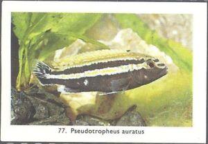 Rizla (NL) - Exotic Aquarium Fish, Series 2, 75 cent back - 77 - Auratus Cichlid