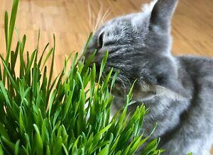 Katzengras - Vitamine für Katzen Grünfutter Gras Verdauungshilfe +300 Samen 😻