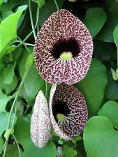 DUTCHMAN'S PIPE VINE (Aristolochia elegans)  --- 100 Fresh Seeds ---