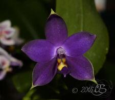 MOS. Orchid Species Phalaenopsis violacea 'Indigo Norton' (small seedling, rare)