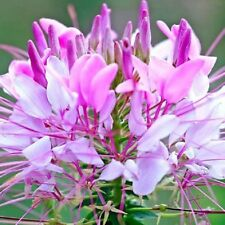 SENORITA CAROLINA CLEOME spinosa white w/ bright pink flowers plant in 140mm pot
