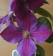 "Star of India Clematis Vine - Perennial - 2.5"" Pot"