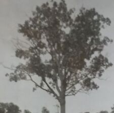 Hickory Tree, Rare Keystone Magic Lantern Glass Slide