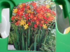 crocosmia flower bulbs lot of 15