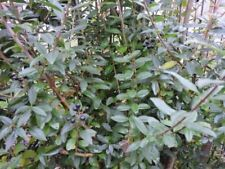 Liguster-Strauchpflanzen Ausgewachsene-Pflanzen