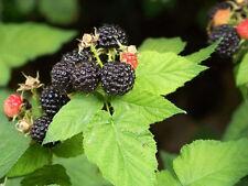 BLACK RASPBERRY Rubus Bush Fruit Seeds