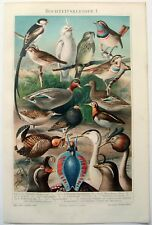 Birds in Mating Colors - Original 1906 Chromo-Lithograph by Meyers.