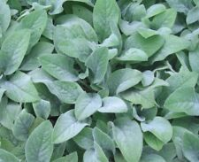 LAMB'S EARS (Stachys Deep Rose) Seed XXX Hardy To -12C Cold & Drought Tolerant