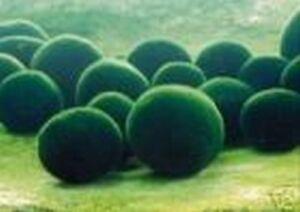 3 to 5cm MOSS BALLS - Aquarium live plant - fish tank Cladophora marimo
