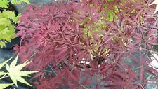 Japanese Maple Acer JULIAN PENDULA  HIGH GRAFTED