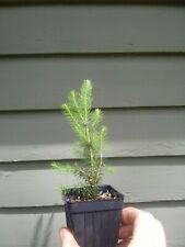 Black Hills Spruce seedling 4 pack (Picea glauca densata)