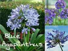 10 Blue AGAPANTHUS Seeds (Africanus) African Lily Love Flower Summer Bloom