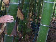 Chin. RIESENBAMBUS Samen - 1000 (!) Stück - Moso Bambus - Winterhart Sichtschutz