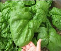Organic Spinach Seeds - NOBEL GIANT Spinach 350 Seeds Heirloom Non GMO