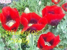 Papaver Somniferum Poppy Seeds © Wizard of OZ © - RED RED - *Shelley Original