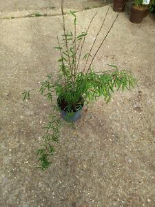 Red Panda 2L Potted Plant Approx 3-4ft Live Screen Red stemmed bamboo