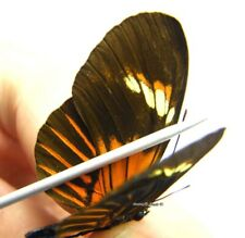 Unmounted Butterfly/Nymphalidae - Heliconius hybrid 2, FEMALE, Peru