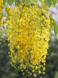 Cassia fistula Indian Laburnum, Purging Fistula, Amaltas, Golden shower 50 seeds