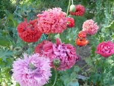 Peony Pom Somniferum Poppy Variety Mix 2000 Seeds   *Shelley aka PoppyQueen👑