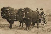 Antique Photo ... Buffalo Bison Pulling Cart Vintage Photo Print 4x6