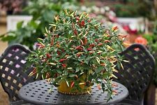 Chilli Seeds - Basket Of Fire x 25