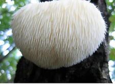 20 LIONS MANE Hericium erinaceus Mushroom Plugs Spawn Dowels Spores Mycelium