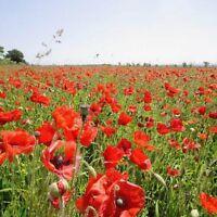 Wildflower Seeds - Common Poppy - 10,000 Seeds