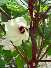 400 BURGUNDY OKRA Seeds, Vegetable, Abelmoschus + FREE GIFT!