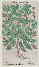 JOHN GERARD BOTANICA MATTHIOLI 1597 YELLOWE PIMPERNELL LYSICMACHIA NEMOSUM