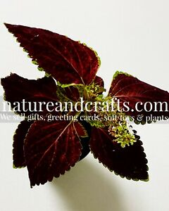 Coleus Seeds Dark almost Black FREE POSTAGE to All EU region (£2 Refund)