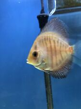 New listing Discus Fish 3 inch live tropical fish