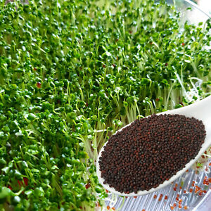 Organic BROCCOLI Sprouting Seeds Grow Sprouts Microgreens, Non-GMO, +Instruction