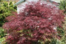 Acer palmatum dis atropurpureum Red Pygmy Red Laceleaf Japanese Maple Seeds!