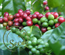 20 Pcs Coffee Beans Cherry Arab Cocoa Aroma Fresh Healthy Natural Garden Home
