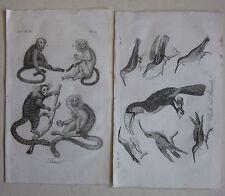 1842 SCIMMIE UCCELLI BRASILE 2 acquaforti Ferrario Brasil Brazilian monkey bird