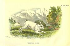 Rare 1896 Antique Mammal Print ~ Mountain Hare ~ Excellent Details!