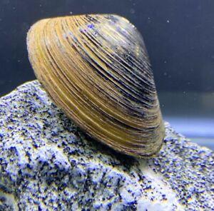 Freshwater Clam (Corbicual sp.) x3 - LARGE -  Live Aquarium Pond