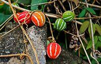 Diplocyclos palmatus Marble Vine Seeds Decorative Ornamental Plant Yellow blooms