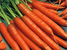 Carrot Scarlet Nantes French Heirloom Sweet Super Food! 800+ SEEDS