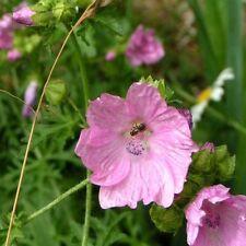 Ambrette Seed Absolue Moschusmalve Abelmoschus naturreines Öl 1,5ml - top2base