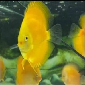 Golden Discus Fish   High Grade   Overnight Shipping