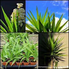 4 Yucca elephantipes Hardy Indoor Outdoor Foliage Garden Plants Grass Yukka Tree