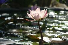 JAPANESE ZEN WATER LILY FLOWER CANVAS PICTURE POSTER PRINT UNFRAMED B32