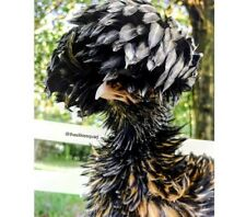 6 Show Quality Polish Smooth Feathered And Frizzle Hatching Eggs