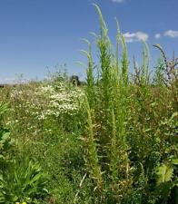 Flores Silvestres Semillas-Dyer De Soldadura - 1000 Semillas
