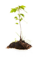 101 per pack maple tree seeding 3 too 4 inch trees live plant