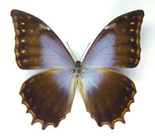 Unmounted Butterfly/Morphidae - Morpho theseus schweizeri, male, Mexico, 70-73mm